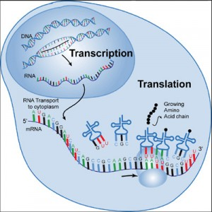Transcription in celluar gene activity illustrated by a graphic rendering