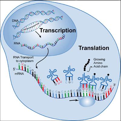 process of transcription diagram labeled bones diagram labeled transcription: a word with many meanings #14