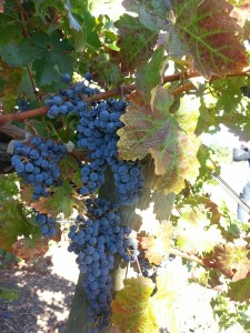Grapes (flavor image)