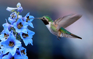 Hummingbird photograph during pollination.